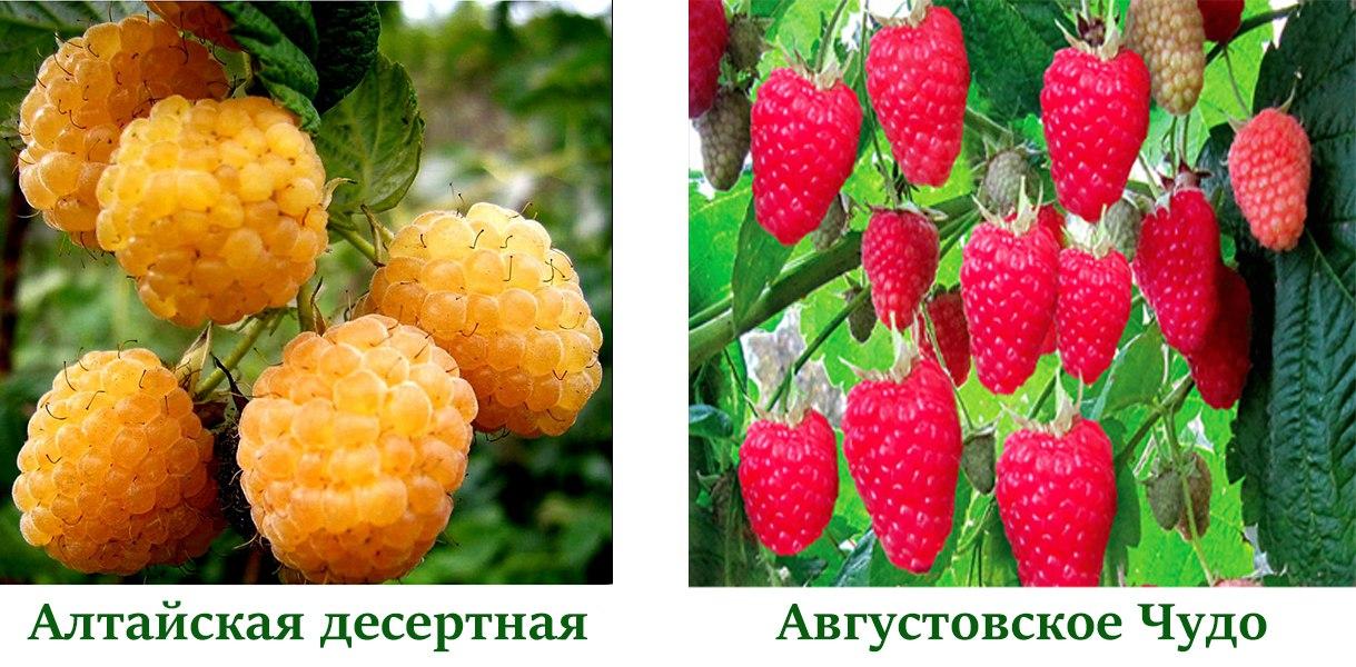 Малина Августовское Чудо, Алтайская десертная
