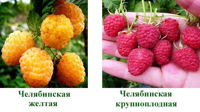 Малина Челябинская желтая, Челябинская крупноплодная