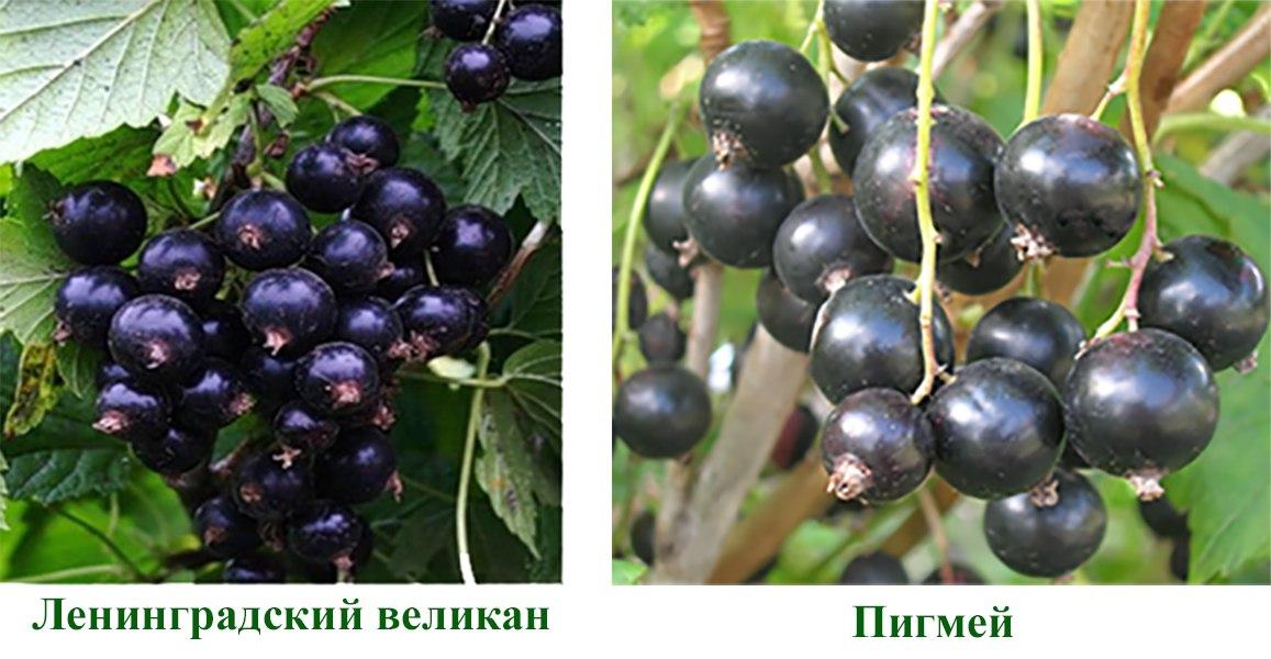 Смородина черная Пигмей, Ленинградский великан