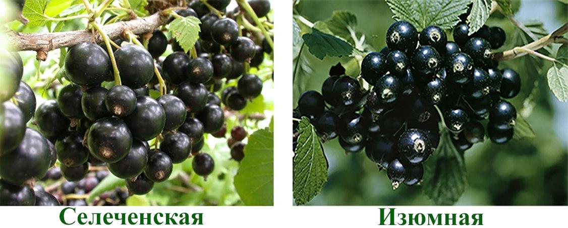 Смородина черная Селеченская, Изюмная